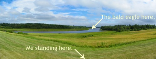 Location of bald eagle from where I was standing