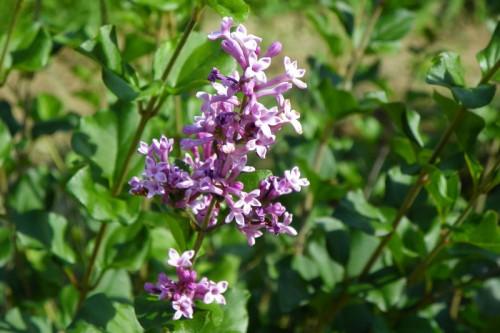 mom's lilacs