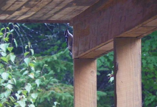 woodpecker pecking the house
