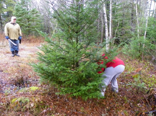 Harvesting a Christmas Tree