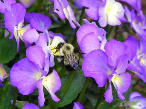 Bumble Bee in my Violas
