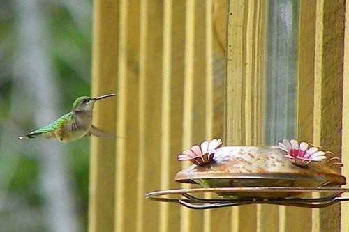 2011 Hummingbird Arrival