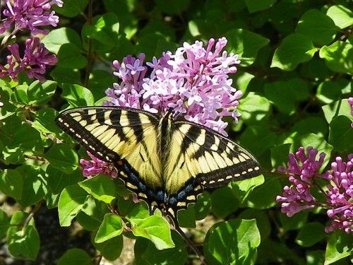Canadian Tiger Swallowtail in my Korean Lilacs