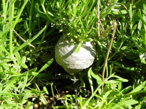 hornet nest in my lavendar