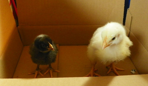 chicks at one week