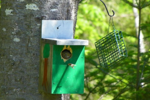 Red squirrel peaking out of bird house
