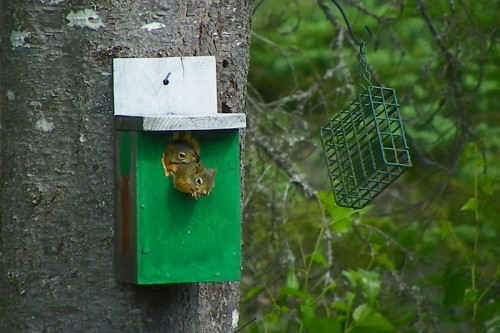 two squirrels in a birdhouse