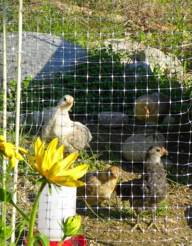 clover the bantam chicken