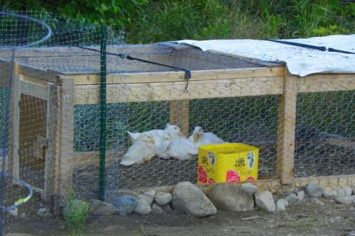 Happy ducks in their new yard