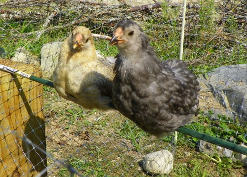 salt and shadow the bantam hens
