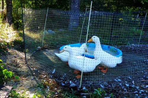 ducks checking out their new neighbors