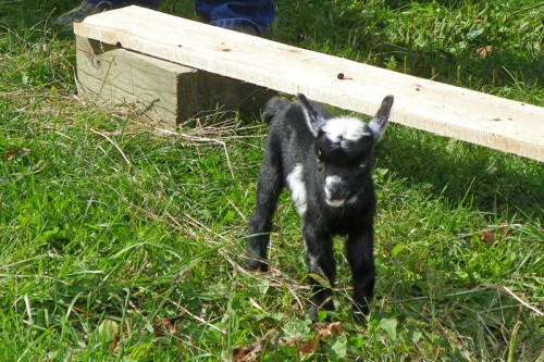 baby lamb at Red Bird Farm