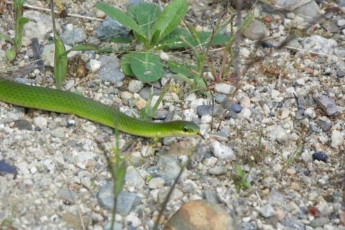 snake in the garen