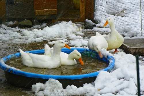 ducks swimming in the snow