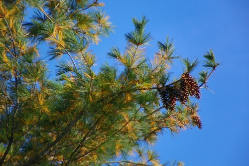 Cones on a white pine tree