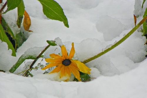 snowy black eyed susan
