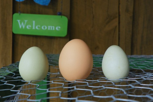 An Egg Comparison