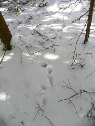 fox tracks retreating into the woods