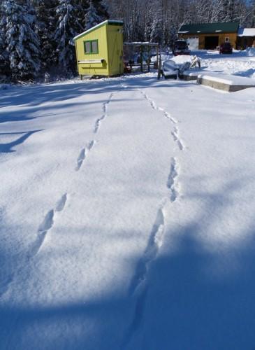 fox tracks around the chicken coop