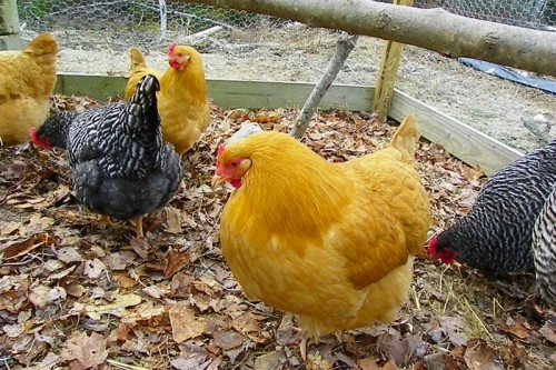 leaf bedding in the chicken run