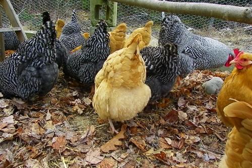 frilly chicken bottoms