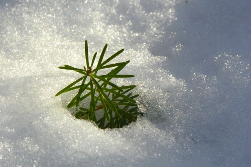 baby spruce tree in the snow